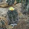 AstrophytumSenile.jpg 681 x 908 px 399.79 kB
