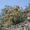 AtraphaxisPyrifolia.jpg 800 x 1067 px 544.53 kB