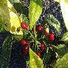 AucubaJaponica4.jpg 1219 x 910 px 456.51 kB