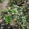 AzaraMicrophylla2.jpg 634 x 845 px 134.78 kB