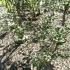 AzaraMicrophylla.jpg 634 x 845 px 219.93 kB