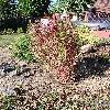 BassiaScopariaTrichophylla3.jpg 615 x 820 px 244.15 kB