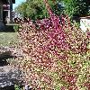 BassiaScopariaTrichophylla4.jpg 615 x 820 px 216.46 kB