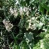 Begonia3.jpg 1127 x 845 px 274.9 kB