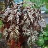 BegoniaBenitochiba.jpg 1219 x 914 px 311.78 kB