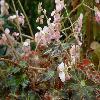 BegoniaCleopatra2.jpg 1110 x 833 px 152.14 kB