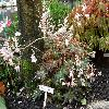 BegoniaCleopatra.jpg 1110 x 833 px 275.67 kB