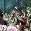 BegoniaOlympica.jpg 720 x 960 px 378.56 kB