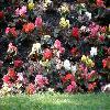 Begonia.jpg 1127 x 845 px 232.43 kB