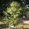 BetulaAlbosinensis3.jpg 576 x 768 px 179.49 kB