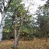 BetulaAlbosinensis5.jpg 720 x 960 px 485.48 kB