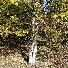 BetulaAlleghaniensis2.jpg 681 x 908 px 295.25 kB