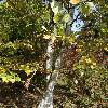 BetulaAlleghaniensis3.jpg 681 x 908 px 224.5 kB