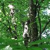 BetulaAlleghaniensis4.jpg 681 x 908 px 390.58 kB