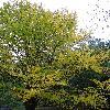 BetulaAlleghaniensis8.jpg 681 x 908 px 474.03 kB