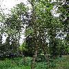 BetulaAlleghaniensis.jpg 681 x 908 px 515.95 kB