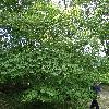 BetulaCorylifolia.jpg 681 x 908 px 499.18 kB