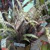 Billbergia.jpg 1024 x 768 px 195.28 kB