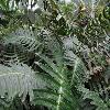 BlechnumAppendiculatum2.jpg 1200 x 900 px 239.93 kB