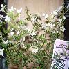 BoroniaAnemonifoliaPinkStar2.jpg 1024 x 768 px 181.94 kB