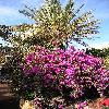 Bougainvillea15.jpg 638 x 850 px 213.18 kB