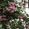 Bougainvillea17.jpg 739 x 985 px 409.9 kB