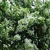 Bougainvillea18.jpg 1024 x 768 px 279.14 kB