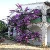 Bougainvillea19.jpg 720 x 960 px 403.58 kB