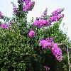 Bougainvillea2.jpg 1120 x 840 px 219.18 kB