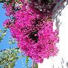 Bougainvillea5.jpg 616 x 821 px 137.55 kB