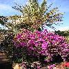 BougainvilleaSpectabilis10.jpg 615 x 820 px 200.77 kB