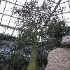 BrachychitonRupestris3.jpg 720 x 960 px 461.78 kB