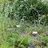 BrachypodiumPinnatum2.jpg 681 x 908 px 478.84 kB