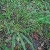 BrachypodiumSylvaticum.jpg 1024 x 768 px 244.03 kB