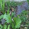 BrassicaJuncea.jpg 832 x 561 px 135.14 kB