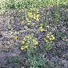 BrassicaNapusArvensis2.jpg 612 x 816 px 219.23 kB