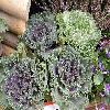 BrassicaOleraceaAcephala.jpg 1127 x 845 px 267.01 kB