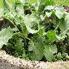 BrassicaOleraceaGongylodes2.jpg 1127 x 845 px 242.89 kB