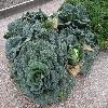 BrassicaOleraceaSabauda.jpg 1024 x 768 px 290.14 kB