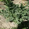 BrassicaOleraceaSabellica2.jpg 639 x 852 px 184.2 kB