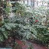 BrowneaAriza7.jpg 720 x 960 px 429.25 kB