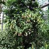 BrugmansiaInsignis3.jpg 1024 x 768 px 309.46 kB