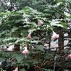 BrugmansiaInsignis.jpg 720 x 960 px 438.34 kB