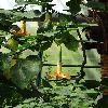 BrugmansiaPittieri.jpg 720 x 960 px 349.87 kB
