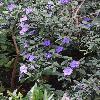 BrunfelsiaCalycinaFloribunda3.jpg 681 x 908 px 371.79 kB