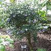 BrunfelsiaCalycinaFloribunda.jpg 720 x 960 px 482.94 kB