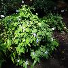 BrunfelsiaPaucifloraMacrantha2.jpg 1024 x 768 px 118.13 kB