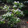 BrunfelsiaPaucifloraMacrantha.jpg 720 x 960 px 470.11 kB