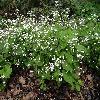 BrunneraMacrophyllaBettyBowring.jpg 1204 x 903 px 373.26 kB
