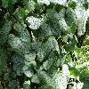 BrunneraMacrophyllaJackFrost.jpg 1024 x 768 px 255.78 kB